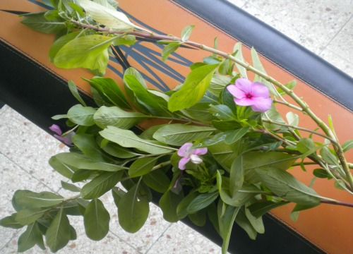 Periwinkle medicinal herb