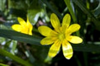 Pilewort medicinal herb