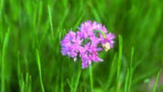 buchu medicinal herb