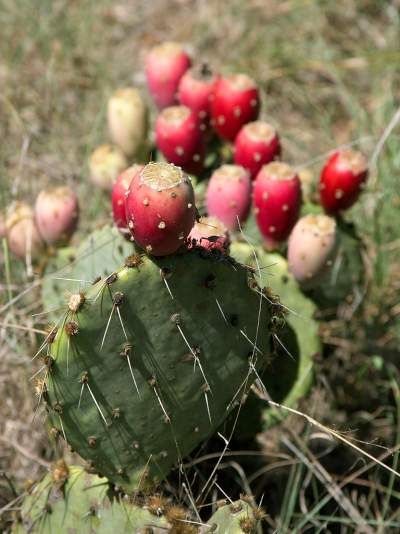 prickly pear or tuna plant