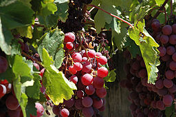 Red Grapes:By J c (Flickr) [CC-BY-2.0 (http://creativecommons.org/licenses/by/2.0)], via Wikimedia Commons