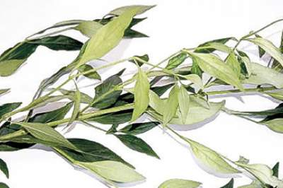 Rice bitters medicinal herb