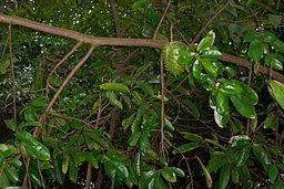 Soursop leaves and soursop fruit