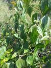 Jack in the Bush, taken in Jamaica by owner of Medicinalherbs-4u.com