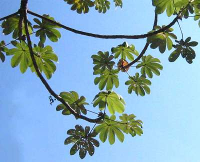 Trumpet leaves of the trumpet tree: By Jim Conrad [Public domain], via Wikimedia Commons