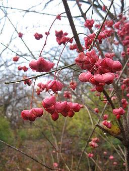 Euonymus Atropurpureus or Wahoo Tree