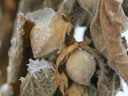 Ashwagandha seed pods: By permiegardener from okanagan, canada  Uploaded by Vinayaraj (ashwagandha seedpods) [CC-BY-SA-2.0 (http://creativecommons.org/licenses/by-sa/2.0)], via Wikimedia Commons