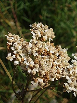 flowers of yarrow medicinal herb when mixed with other beautiful herbs are used in wedding arrangements.