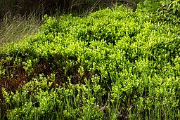 Bilberry medicinal herb is used to treat eye ailments.