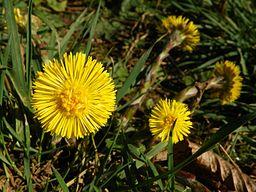Cotsfoot: By AnemoneProjectors (Flickr: Colt's-foot (Tussilago farfara)) [CC-BY-SA-2.0 (http://creativecommons.org/licenses/by-sa/2.0)], via Wikimedia Commons