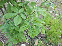 Eleuthero is a good herb to treat the immune the system and to prevent diseases.