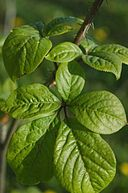 commons.wikimedia.org/wiki/File%3AEleutherococcus_senticosus_leaves.jpg