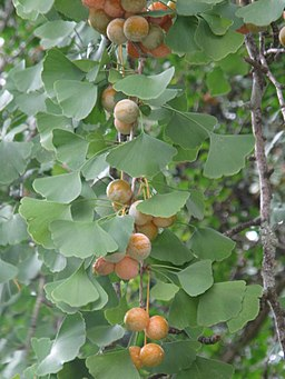Ginkgo biloba is classed among the herbs for health