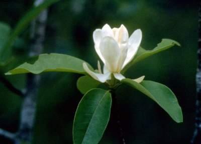 Magnolia virginiana flowers