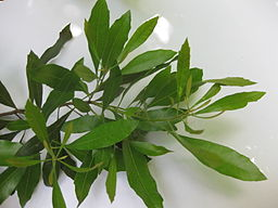 Bayberry medicinal herb: By Fepup (Own work) [Public domain], via Wikimedia Commons