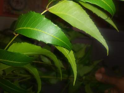 Neem is good for most skin ailments.