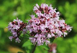 origanum medicinal herb