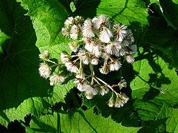 Butterbur medicinal herb is good for migraines.