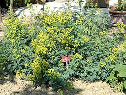 Rue medicinal herb is an excellent remedy for stomach conditions.