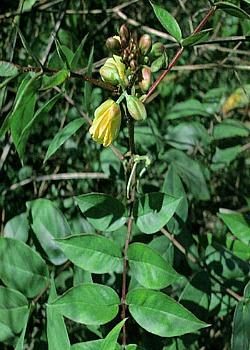 Senna herb