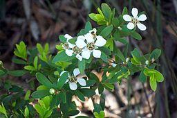 Tea tree: By Poyt448 Peter Woodard (Own work) [Public domain], via Wikimedia Commons