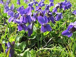 Violet Medicinal herb