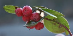 Wintergreen essential oil may be used internally as well as externally.