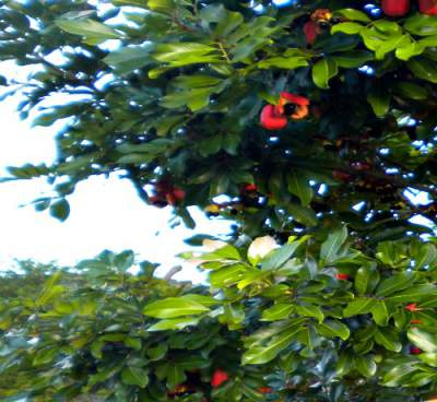 My ackee tree in Jamaica featuring beautiful green ackee leaves with their red pods.