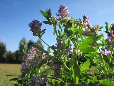 Alfalfa medicinal herbs can alleviate fluid retention and swelling.