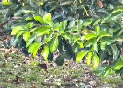Avocado leaves