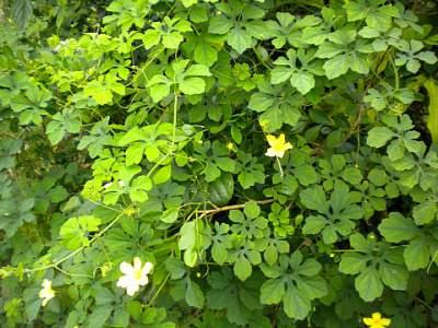 Cerasee medicinal plant