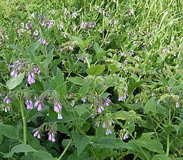 Comfrey: By en:Sannse [GFDL (http://www.gnu.org/copyleft/fdl.html) or CC-BY-SA-3.0 (http://creativecommons.org/licenses/by-sa/3.0/)], via Wikimedia Commons