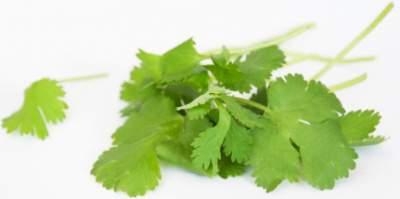 coriander medicinal herb