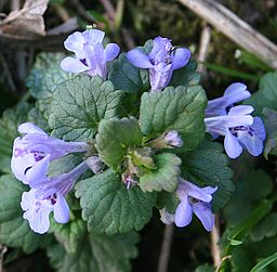 Ground ivy - Anne Burgess [CC-BY-SA-2.0 (http://creativecommons.org/licenses/by-sa/2.0)], via Wikimedia Commons