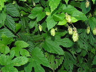 Fresh hops herbs