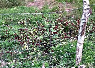 Jamaican Sorrel Planted by a Neighbour in Jamaica