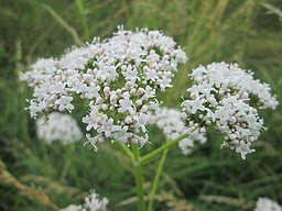 https://commons.wikimedia.org/wiki/File:20180617Valeriana_officinalis2.jpg Attribution: AnRo0002 [CC0] [Public domain]