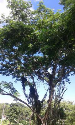 Guango Tree