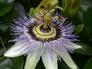 Passionflower is a good remedy for menopause.