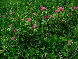 Red clover: By H. Zell (Own work) [GFDL (http://www.gnu.org/copyleft/fdl.html) or CC-BY-SA-3.0 (http://creativecommons.org/licenses/by-sa/3.0)], via Wikimedia Commons