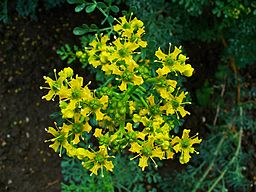Rue herb By H. Zell (Own work) [GFDL (http://www.gnu.org/copyleft/fdl.html) or CC-BY-SA-3.0 (http://creativecommons.org/licenses/by-sa/3.0)], via Wikimedia Commons