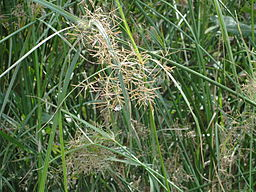 Water Grass: By Thamizhpparithi Maari (Own work) [CC-BY-SA-3.0 (http://creativecommons.org/licenses/by-sa/3.0)], via Wikimedia Commons